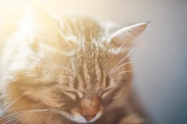 Nahaufnahme, die nette katze schläft. porträt des schlafens der grauen katze. schlafender gestreifter kater - perfekter traum.