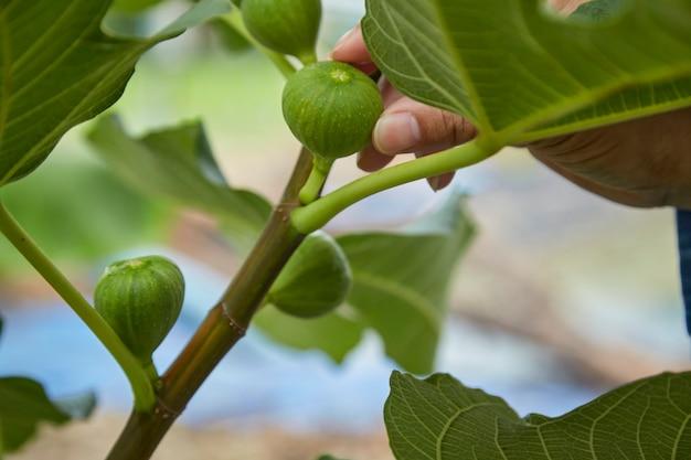 Nahaufnahme, die sich um die frucht auf dem feigenbaum kümmert