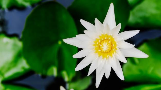 Nahaufnahme draufsicht weiße lotusblume oder seerose blüte auf der wasseroberfläche und dunklem hintergrund,