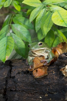 Nahaufnahme dumpy grüner laubfrosch