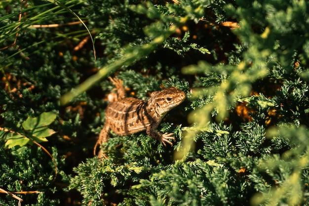 Nahaufnahme eidechse sitzt im grünen gras