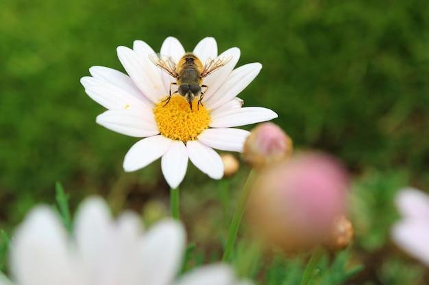 Nahaufnahme eine biene, die nektar auf gelbem blütenstaub von white daisy flower sammelt