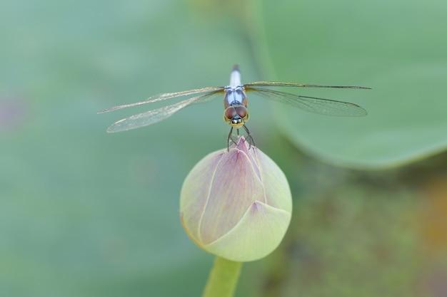 Nahaufnahme eine libelle auf lotusblüte