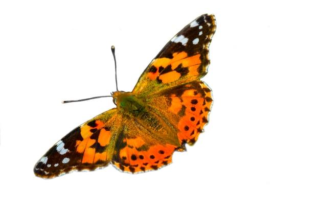 Nahaufnahme einer bemalten karte schmetterling lady vanessa und. orange-schwarzer tag schmetterling auf weißem hintergrund