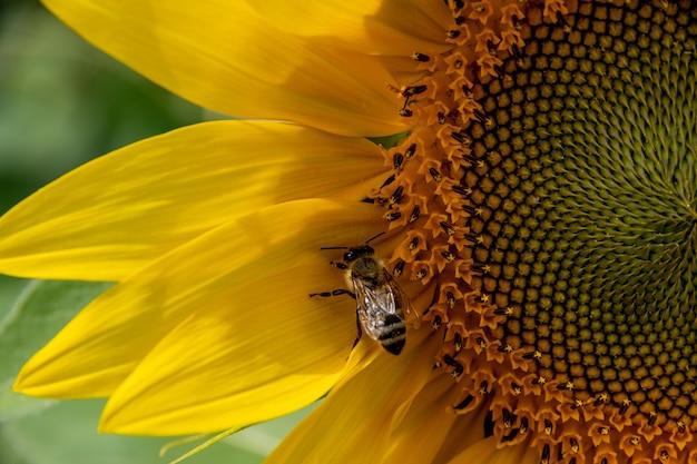 Nahaufnahme einer biene, die honig von einer blühenden gelben sonnenblume sammelt. herstellung von natürlichem honig. sonnenblume und biene als symbol für sommer, gesundheit