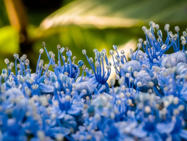 Nahaufnahme einer blauen hortensie in einem englischen garten