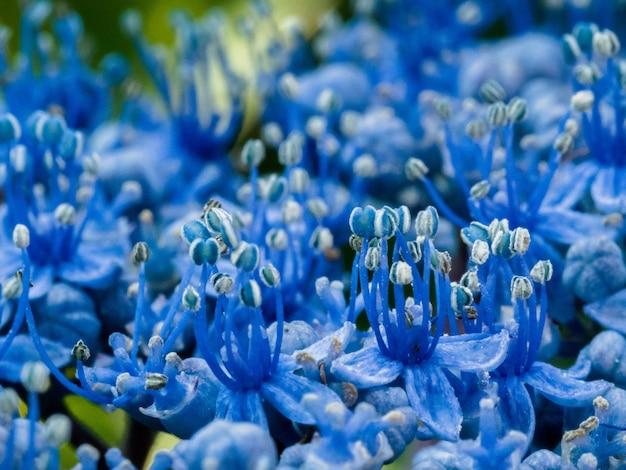Nahaufnahme einer blauen hortensie