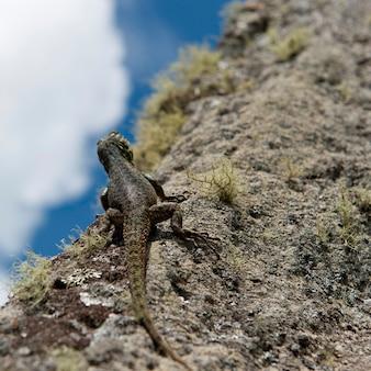 Nahaufnahme einer eidechse auf einem felsen, machu picchu, cusco-region, peru