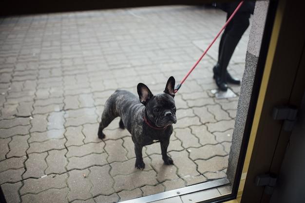 Nahaufnahme einer französischen bulldogge auf einer roten leine, die auf kopfsteinpflasterstraße steht