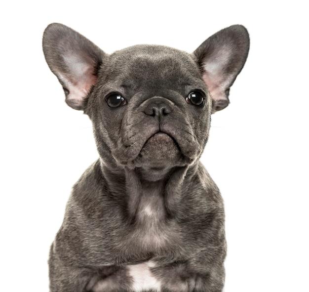 Nahaufnahme einer französischen bulldogge, lokalisiert auf weiß