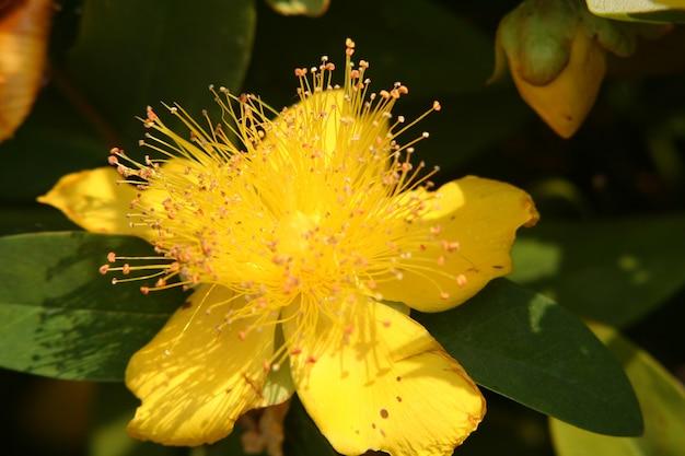 Nahaufnahme einer gelben hypericum-blüte