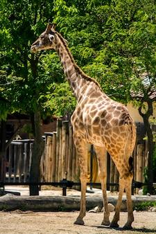Nahaufnahme einer giraffe auf einem zoo.