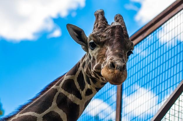 Nahaufnahme einer giraffe, die die kamera gegen den blauen himmel betrachtet. mit platz für text.
