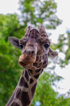 Nahaufnahme einer giraffe vor einigen grünen bäumen, die in die kamera schaut, als ob sie sagen wollte, dass du mich ansiehst. mit platz für text.