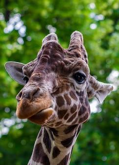 Nahaufnahme einer giraffe vor einigen grünen bäumen