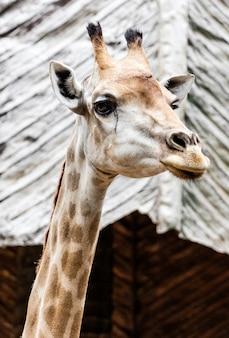 Nahaufnahme einer giraffe vor im zoo
