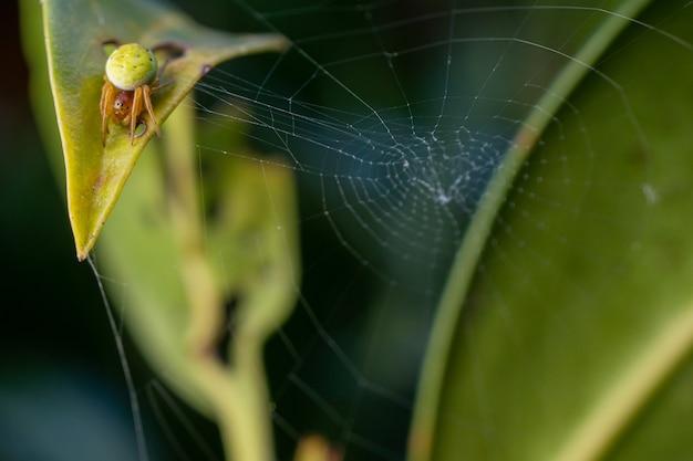 Nahaufnahme einer grünen gurkenspinne auf einem spinnennetz