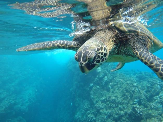 Nahaufnahme einer grünen meeresschildkröte, die unter wasser unter den lichtern schwimmt - cool für naturkonzepte