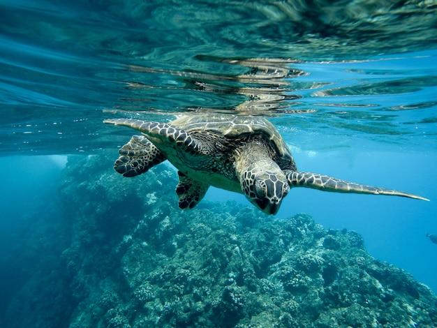 Nahaufnahme einer grünen meeresschildkröte, die unter wasser unter den lichtern schwimmt