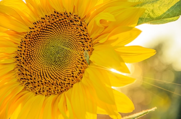 Nahaufnahme einer halben sonnenblume in den strahlen der untergehenden sonne. schöne natürliche wand mit pflanzen und sonnenuntergang