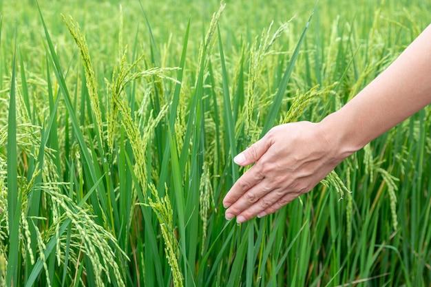 Nahaufnahme einer hand, welche die grünen reisfelder berührt