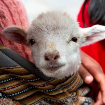 Nahaufnahme einer kinderziege hielt durch eine person, cuzco, peru