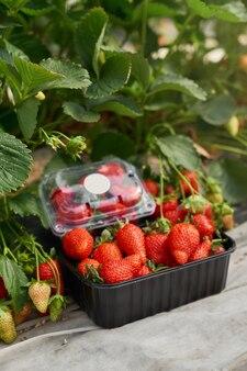 Nahaufnahme einer kiste gefüllt mit frisch gepflückten erdbeeren