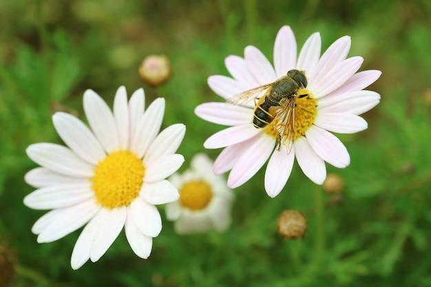 Nahaufnahme einer kleinen biene, die nektar auf einem blühenden gänseblümchen sammelt