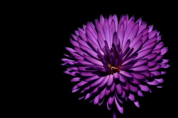 Nahaufnahme einer lila chrysantheme, die im dunkeln isoliert wird