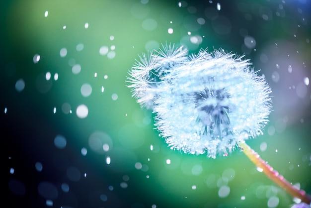 Nahaufnahme einer löwenzahnblume mit wassertropfen