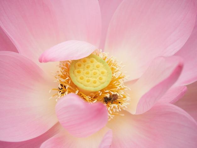 Nahaufnahme einer lotusblume, eine biene sammelt pollen von einer blume. rosa lotusblume nahaufnahme