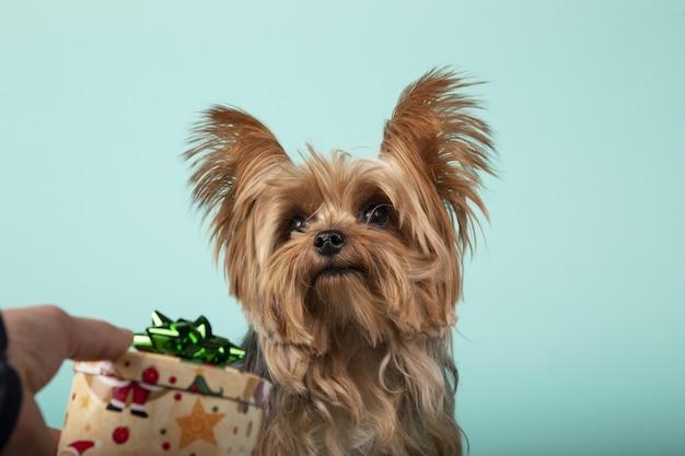 Nahaufnahme einer männlichen hand, die einem entzückenden yorkshire-terrier auf grüner wand ein geschenk gibt