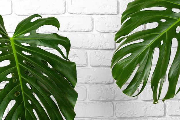 Nahaufnahme einer monstera-pflanze verlässt gegen weiße backsteinmauer