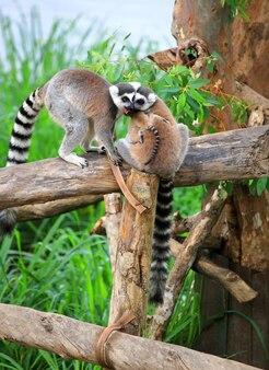 Nahaufnahme einer netten ring-tailed lemurfamilie