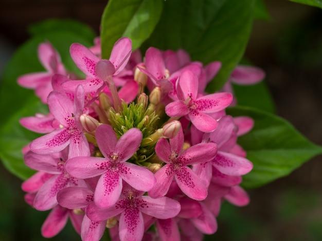 Nahaufnahme einer neugierigen lustigen rosa garten lauchblume