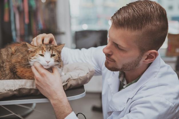 Nahaufnahme einer niedlichen katze, die vom professionellen tierarzt untersucht wird