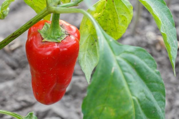 Nahaufnahme einer paprika, die auf einem busch im garten wächst. bulgarische oder paprikapflanze. geringe schärfentiefe