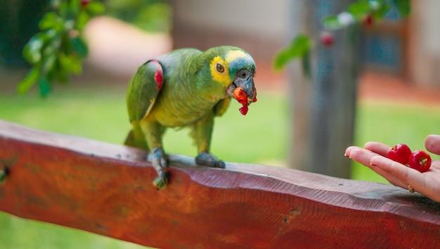 Nahaufnahme einer person, die einen amazonas mit türkisfarbener front füttert, der auf einem holzzaun unter dem sonnenlicht steht