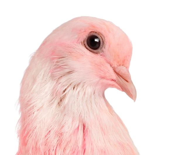 Nahaufnahme einer rosa taube gegen weiße oberfläche