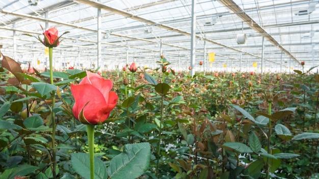 Nahaufnahme einer rose auf einem unscharfen blumenhintergrund in einem gewächshaus