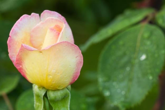 Nahaufnahme einer rosenknospe auf einem stiel mit unscharfem natürlichen hintergrund. geringe schärfentiefe.
