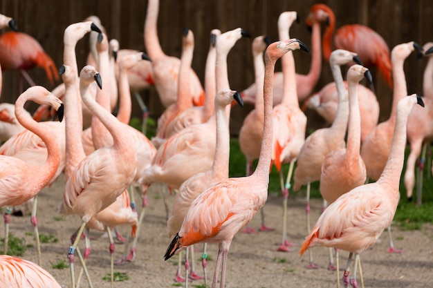 Nahaufnahme einer roten flamingogruppe