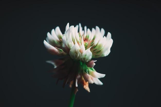 Nahaufnahme einer schönen exotischen weißen blume mit einem pechschwarzen