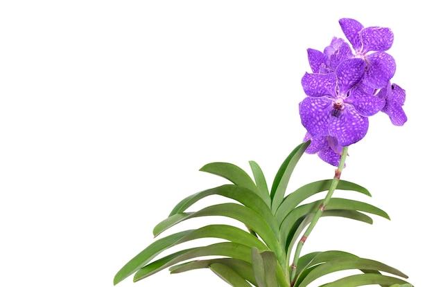 Nahaufnahme einer schönen vanda-orchidee auf einem weißen hintergrund.