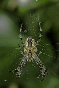 Nahaufnahme einer spinne auf dem netz unter dem sonnenlicht mit grün
