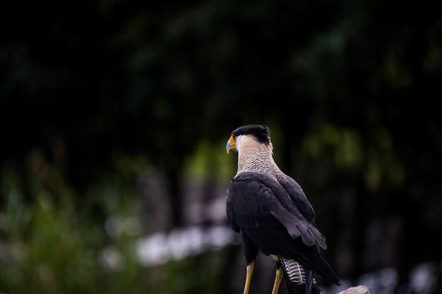 Nahaufnahme einer südlichen haubenkarakara