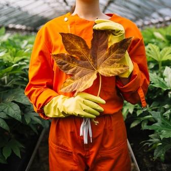 Nahaufnahme einer weiblichen gärtnerhand, die gelbes blatt fatsia japonica hält