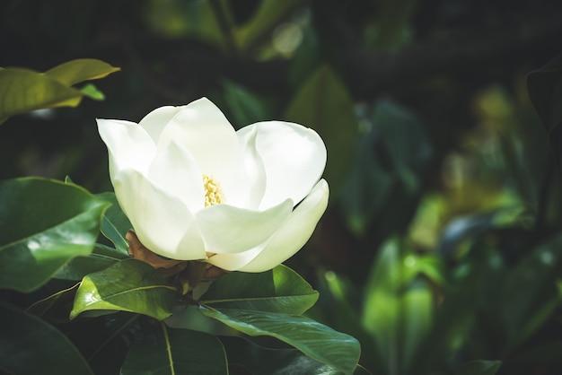 Nahaufnahme einer weißen magnolienblume