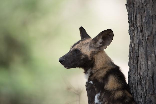 Nahaufnahme eines afrikanischen wildhundes