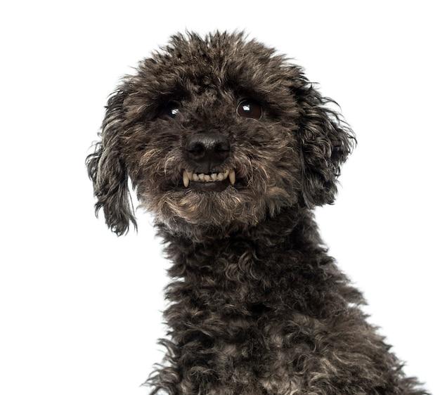 Nahaufnahme eines aggressiven pudels, der zähne zeigt, die auf weiß isoliert werden